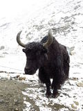 Black old yak Royalty Free Stock Images
