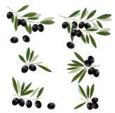 Black olive branch. Realistic . Stock Image