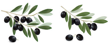 Black olive branch. Realistic . Royalty Free Stock Photography