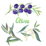 Black Olive branches with fruits, flowers and leaves, isolated h. Black olive branches, hand painted watercolor illustration isolated on white vector illustration
