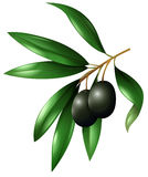 Black olive fruits on the branch Stock Images