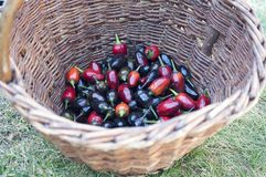 Black olive ornamental, Capsicum Annuum fruit, black and red hot chilli peppers in wicker basket Royalty Free Stock Images
