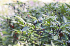 Black Olive Ornamental Peppers Stock Image