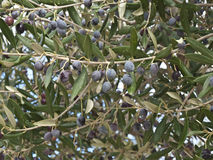Black olive tree Royalty Free Stock Image
