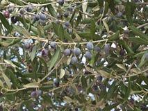 Black olive tree. Black fruiting greek olive tree Royalty Free Stock Image