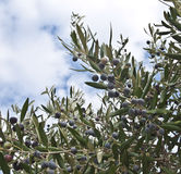 Black olive tree Royalty Free Stock Photos