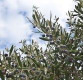 Black olive tree. Black fruiting greek olive tree Royalty Free Stock Photos