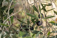 Black olive on a tree stock images