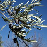 Black olive on the tree. In the garden Royalty Free Stock Image