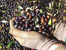 Black olives. Freshly harvested ready for processing, Italy royalty free stock images