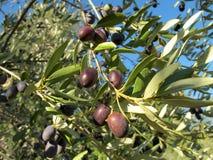 Black olives. Ripe black olives on branch Royalty Free Stock Photography