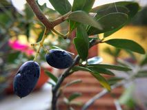 Black olives. In bonsai Stock Photos