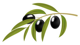 Black olives on branch Stock Photo