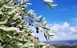 Black olives on branch Royalty Free Stock Photo