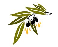 Black olives on a branch dripping olive oil Stock Photo