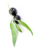Black olives on branch it is isolated on white. Black olives and some green leaflets on branch it is isolated on white background royalty free stock photography