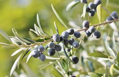 Black olives on branch of olive tree. Full grown Black olives on branch of olive tree on sunny day Royalty Free Stock Image