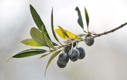Black olives on branch of olive tree. Full grown Black olives on branch of olive tree on sunny day Royalty Free Stock Photos