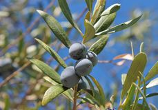 Olive Black olives on branch of olive tree background Stock Photo