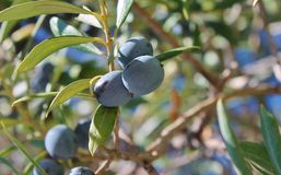 Black olives on branch of olive tree Royalty Free Stock Photo