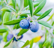 Black olives on a branch of a tree Stock Photo