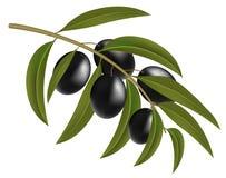Black olives on branch Stock Photo