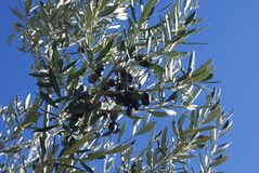 Black olives growing on branches Stock Photography