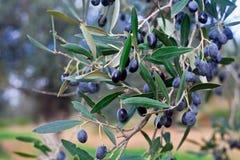 Black olives Stock Photos