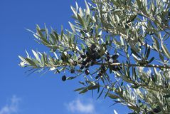 Black olives growing on a tree Stock Photos