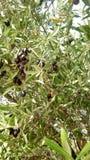 Olive. Black olives mature of marocco Stock Image