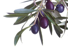 Black olives in olive tree branch i. Solated on a white background Royalty Free Stock Photo