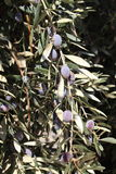 Black Olives. Olive tree branches laden with ripe black olive fruits of the Mediterranean region. Olives are a healthy part of a Mediterranean diet Stock Images