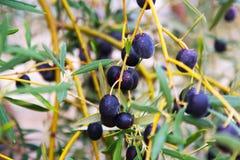 Black olives plant Royalty Free Stock Photography