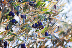 Black olives plant Stock Image