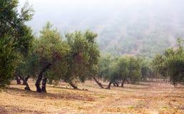 Black olives plant Stock Photography