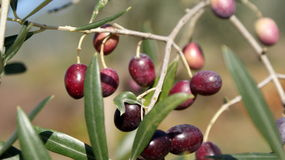 Black olives, ripe Stock Image