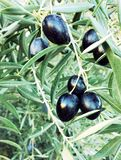 Black olives ripening on tree Stock Image
