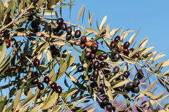 Black olives on tree against blue sky Royalty Free Stock Images