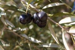 Black olives on the tree Royalty Free Stock Photo