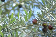 Black Olives on tree with soft focus background 4 Stock Photos