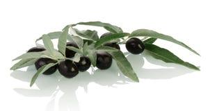 Black Olives twig Stock Photography