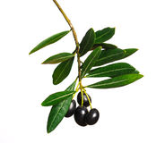 Black Olives. On a white background royalty free stock photo