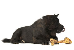 Black one blind chow chow with a big bone eating in studio Stock Photos