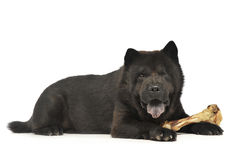 Black one blind chow chow with a big bone eating in studio Royalty Free Stock Image