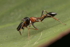 Black and orange ant mimic spider Royalty Free Stock Photography
