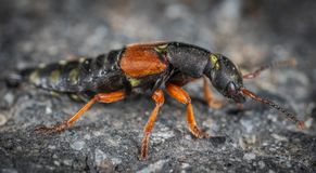 Black and Orange Beetle on Grey Surface Royalty Free Stock Photography