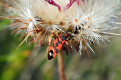Black-orange beetle on white dandelion flower Stock Images