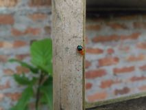 Black-orange bettle. A bettle walking down a bamboo in search of food stock photo
