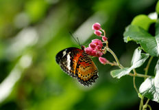 Black orange brown butterfly eating nectar from a flower. Close-up of a black orange brown butterfly sitting on a pink flower eating its nectar to feed itself Royalty Free Stock Photography