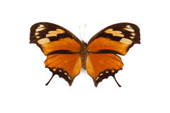Black and orange butterfly Anaea fabius isolated Stock Image